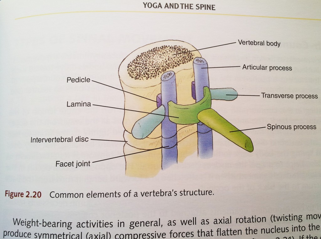 yoga-anatomy-spine