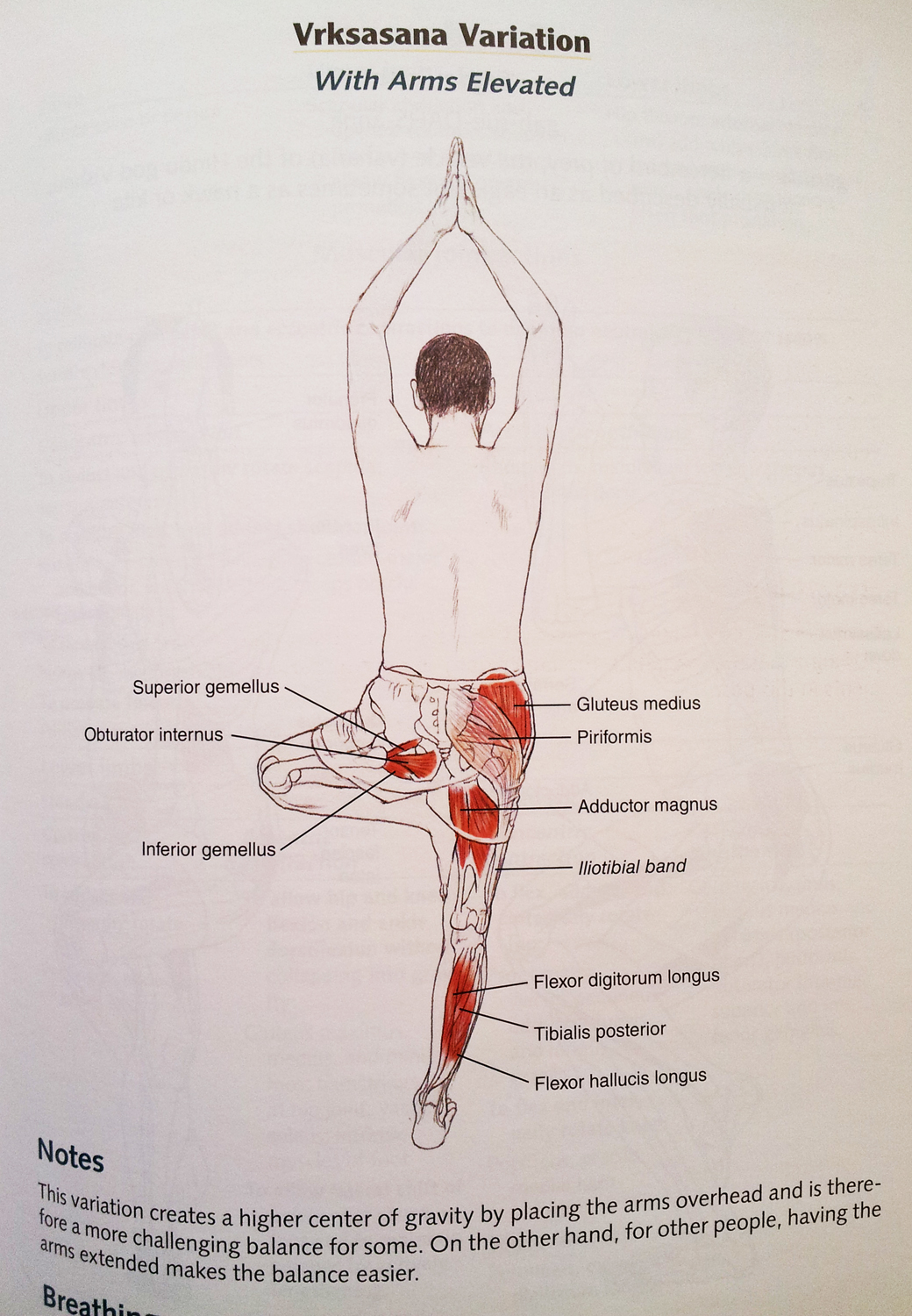 yoga-anatomy-tree-variation